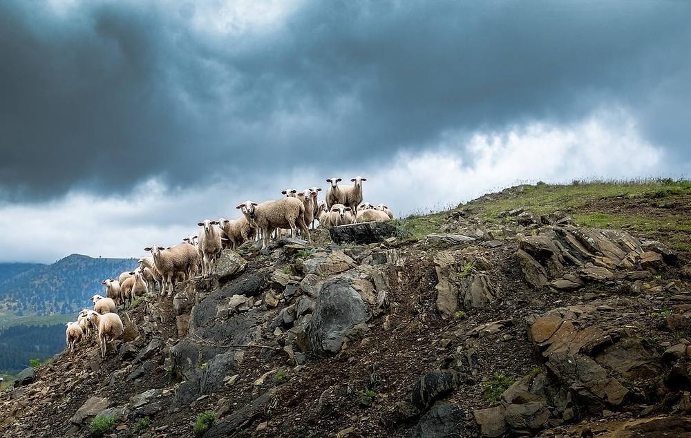 sheep-herding-greece