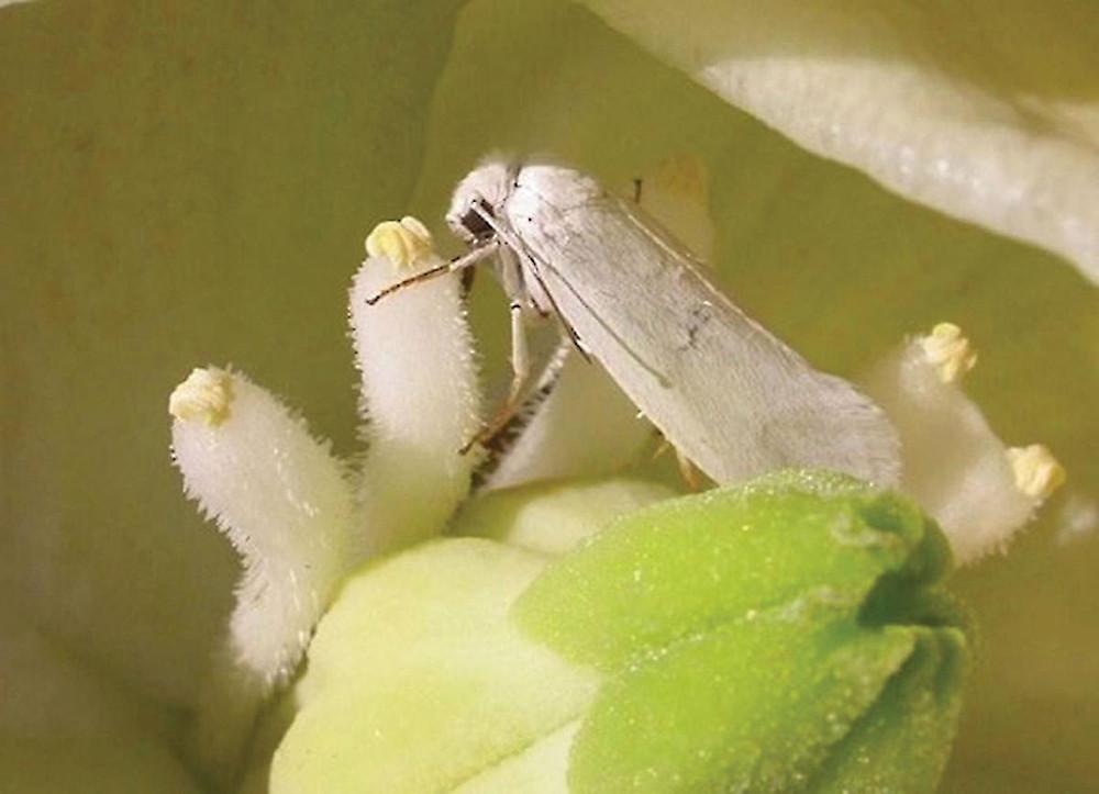 yucca-moth-closeup