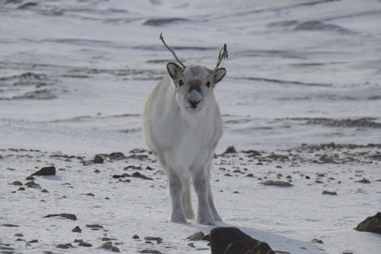 far-north-young-caribou