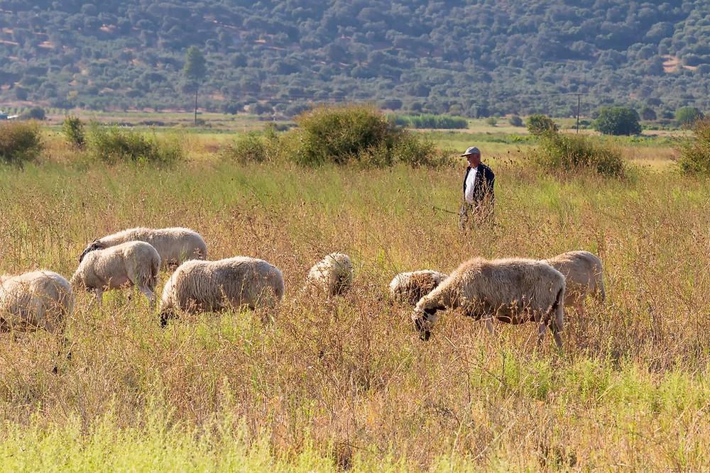 antia-greece-sheep-herding