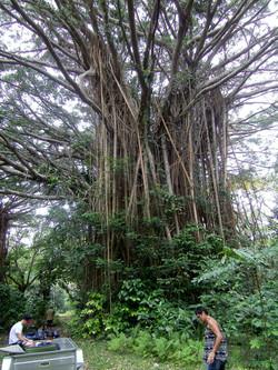 Giant Banyan Trees