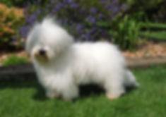 Coton de Tulear breeders, Coton de tulear puppies