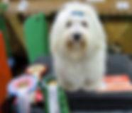 Coton de Tulear breeder, Coton de Tulear puppies