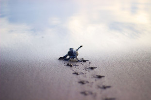 A cute baby turtle on his struggle for survival