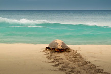 sea turtle going back to the sea after nesting on the beach