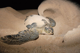 Sea turtle on the phase of camouflage