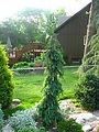 Picea omorika 'Sky Trails'