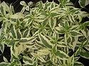 Diervilla sessilifolia 'LPDC Podaras' PP19391