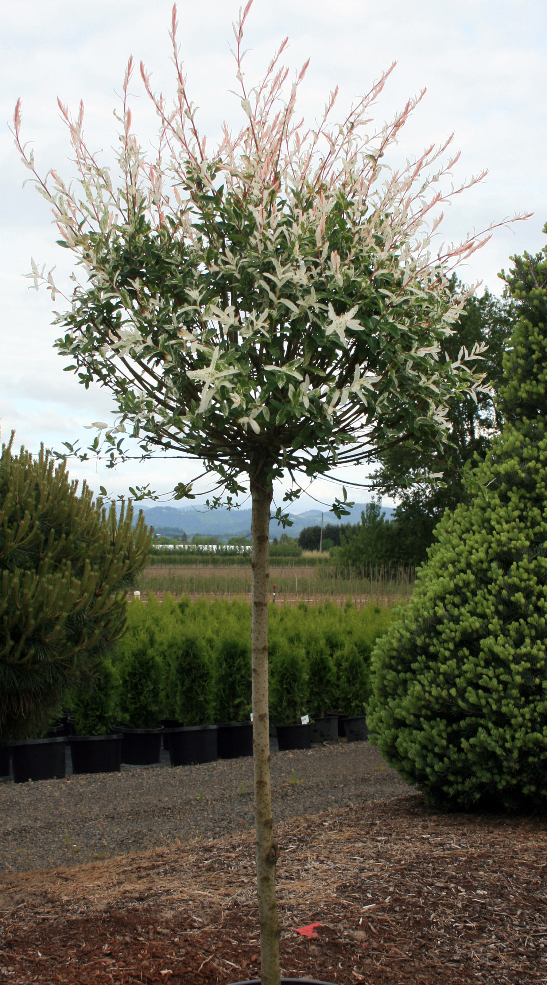 Salix Flamingo STD