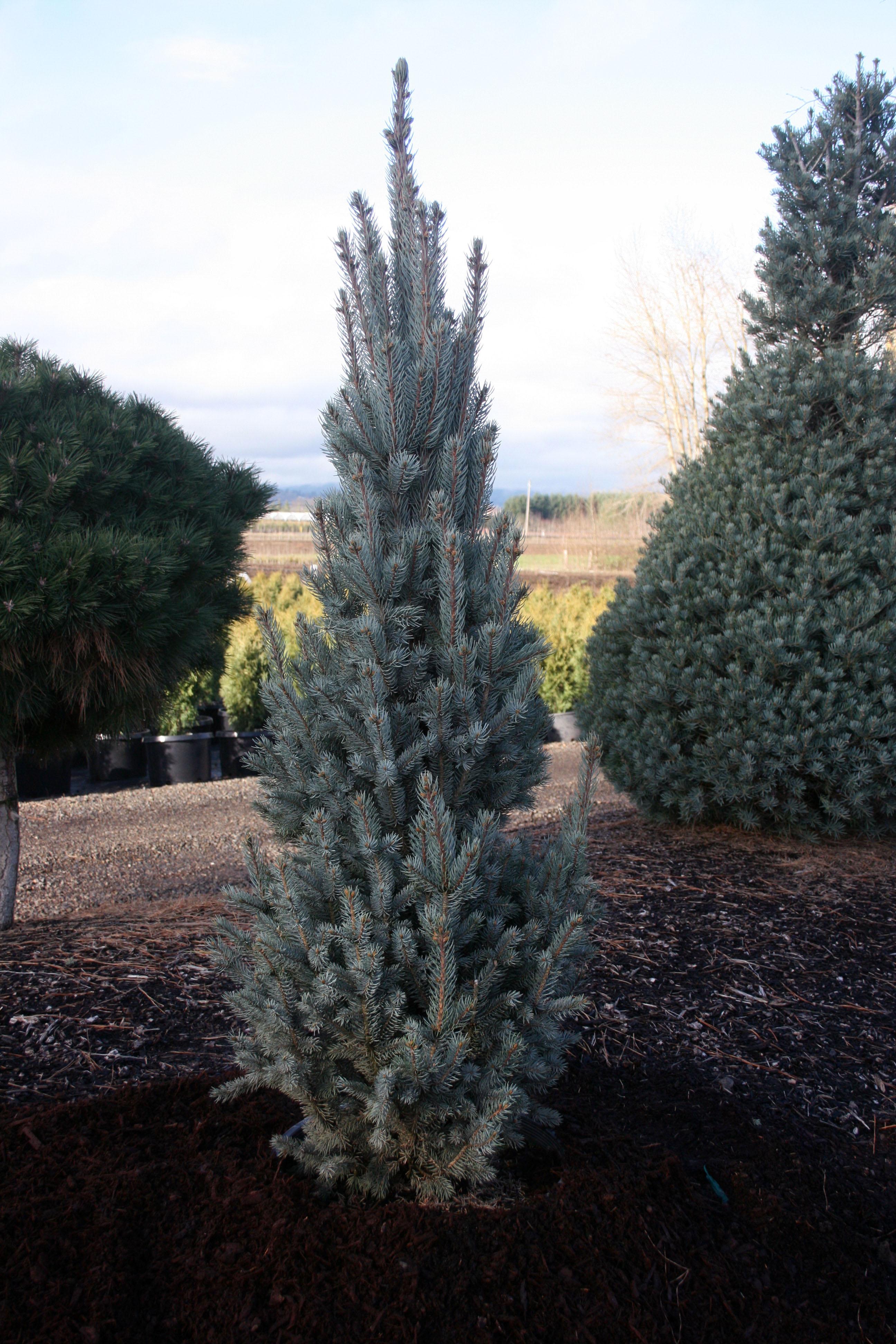 Picea p. g. Fastigiata