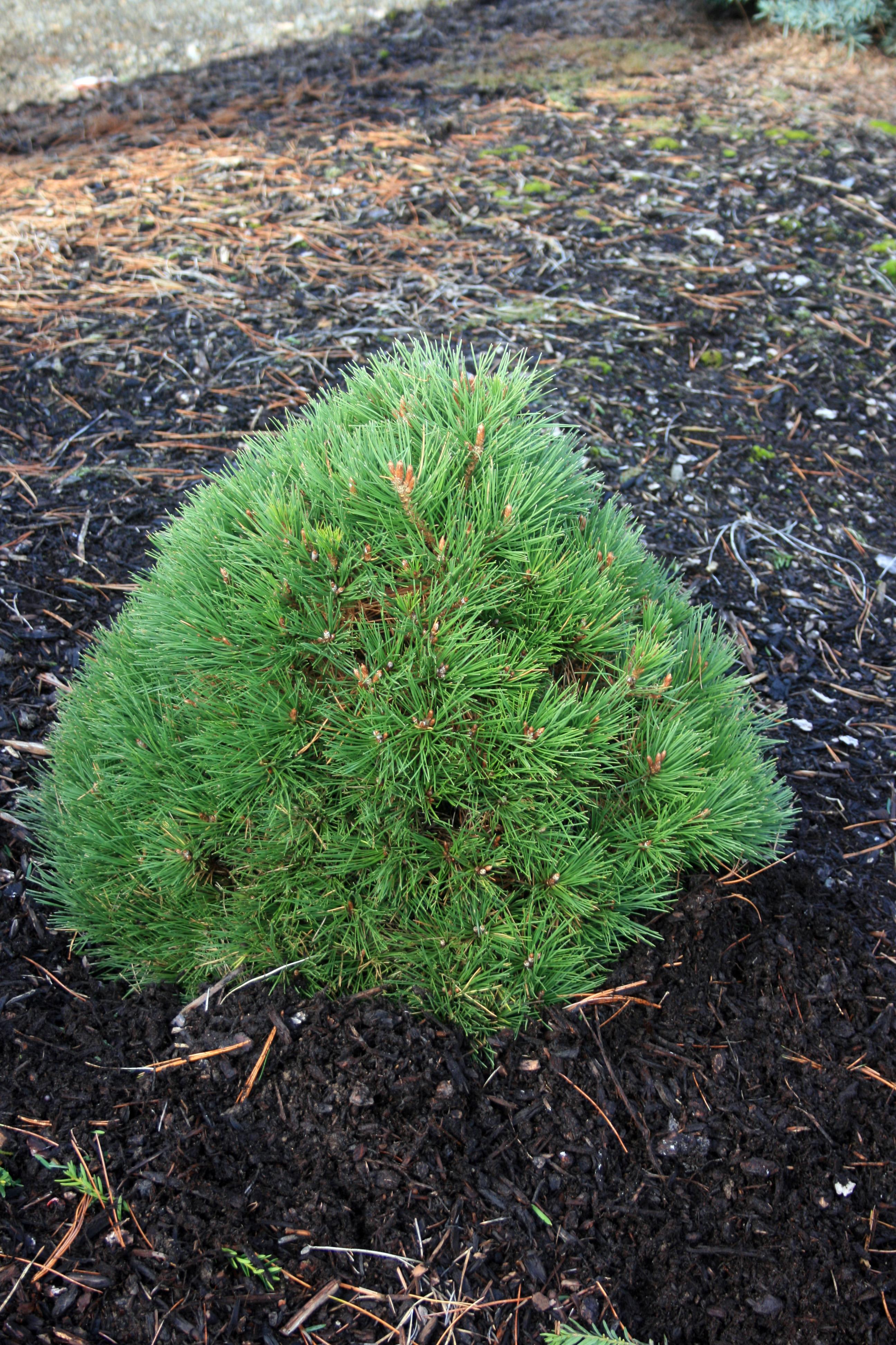 Pinus resinosa Nana