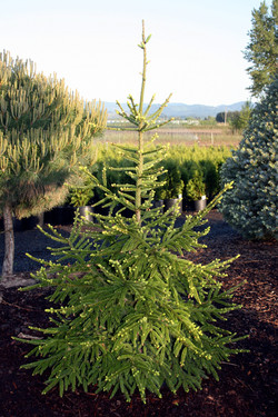 Picea abies Wells Green Knight2