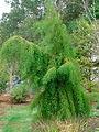 Taxodium distichum 'Falling Waters'