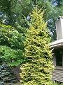 Picea orientalis 'Skylands'