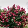 Hydrangea paniculata 'SMHPFL'
