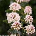 Physocarpus opulifolius 'SMPOTW'