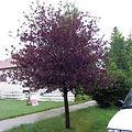 Prunus Virginiana 'Cananda Red'