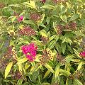 Spiraea japonica 'Minspi'