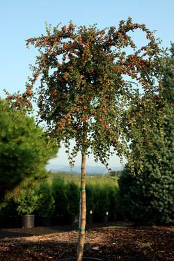Cotoneaster Tree