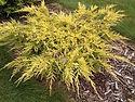 Juniperus 'Saybrook Gold'