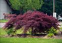 Acer palmatum var. dissectum 'Crimson Queen'
