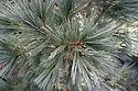 Pinus flexilis 'Northern Blue'