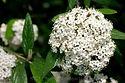 Viburnum pragense 'Decker'