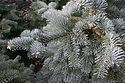 Abies lasiocarpa arizonica 'Pride's Select'