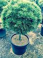 Pinus strobus 'Minuta STD'