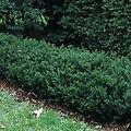 Taxus x media 'Chadwickii'
