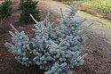 Picea pungens glauca prostrata 'Blue Horizon'