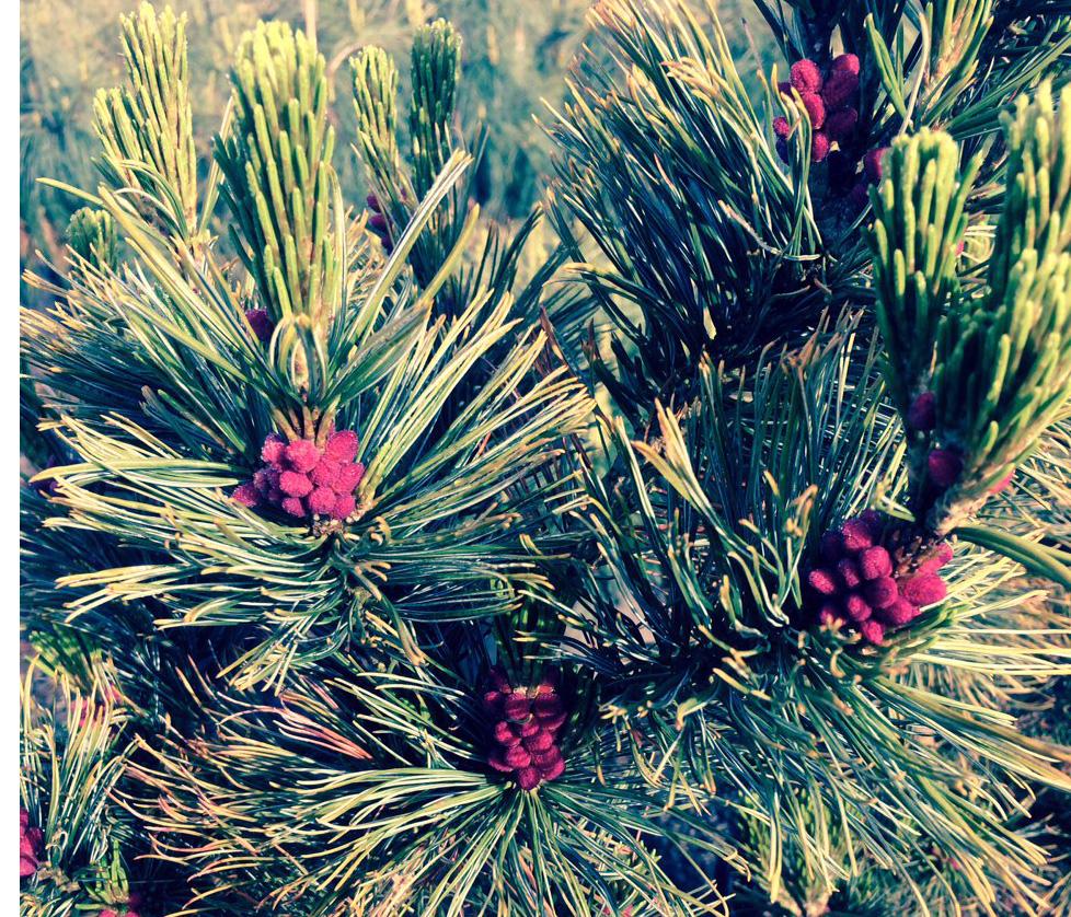 Pinus cembra Dwarf Blue