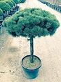 Pinus sylvesteris 'Glauca Nana STD'