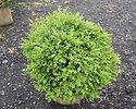 Buxus koreana x sempervirens 'Krazgreen'