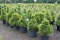 Pinus sylvestris 'Moseri Gold'