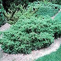 Juniperus j. chinensis 'Kallays Compact'