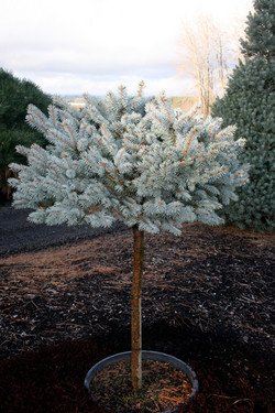 Picea p. g. Globosa STD