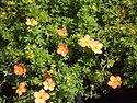 Potentilla fruticosa 'Apricot Whispher'