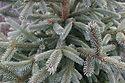 Picea abies 'Paul's Select'