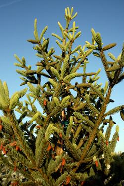 Picea abies Wells Deer Run2