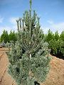 Pinus flexis 'Vanderwolf's Pyramid'