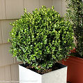 Buxus microphylla 'Bulthouse' PP25896