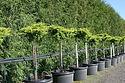 Juniperus chinensis 'Daub's Frosted STD'