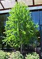 Taxodium distichum 'Mickelson'