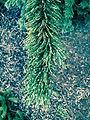 Pinus 'Aristata'