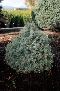 Picea Sester Dwarf