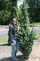 Picea pungens glauca 'Blue Totem'