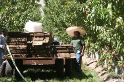 peach harvest2012 003.jpg