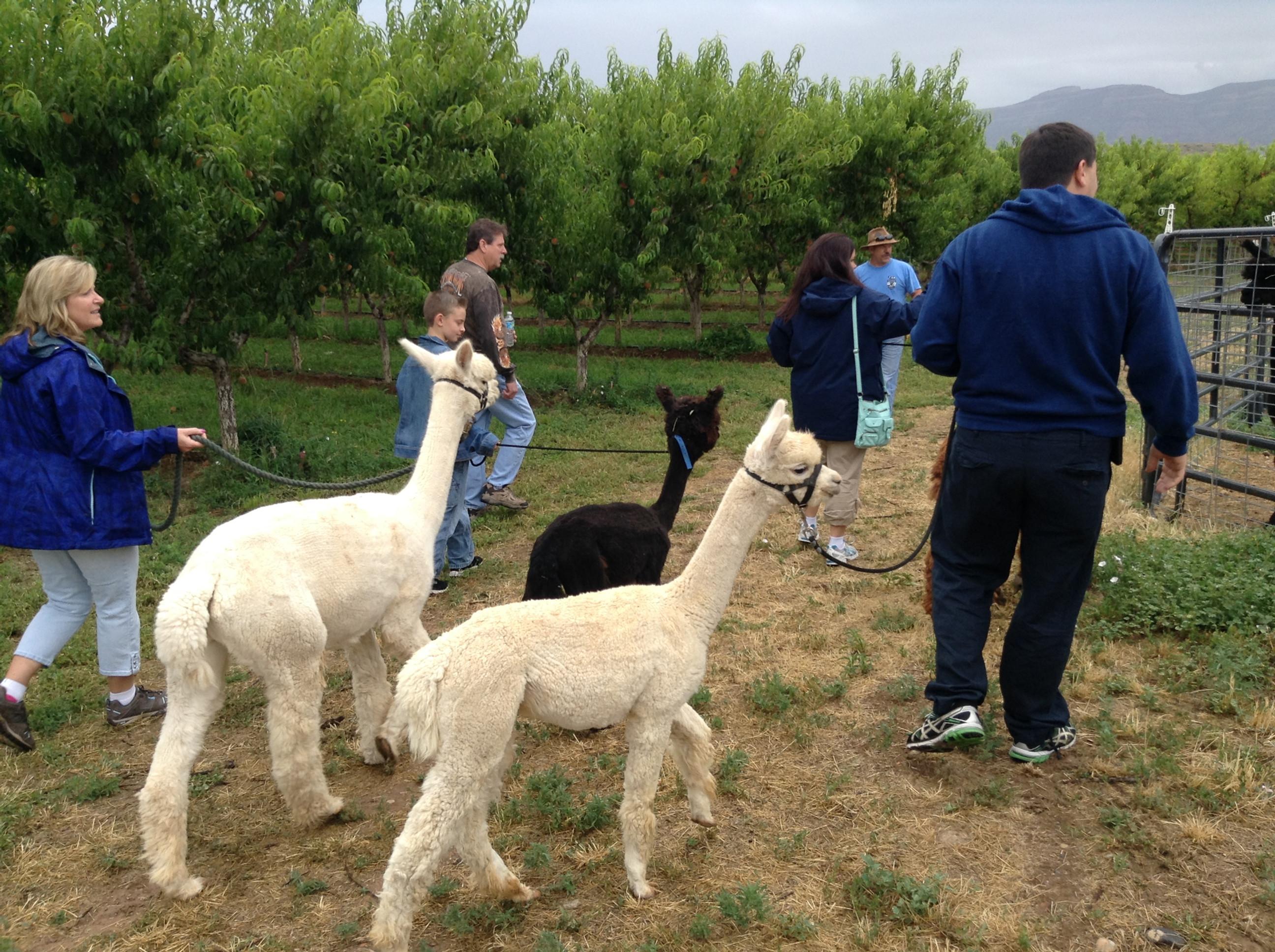 Alpaca Trekking Tour