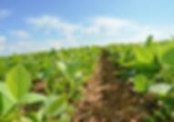 soy field5.jpg